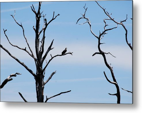 Wildlife Metal Print featuring the photograph Burnt-tree Osprey by Peter McIntosh