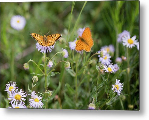 Crested Butte Metal Print featuring the photograph Butterfly On Fleabane #2 by Meagan Watson