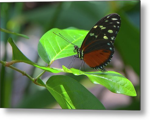 Butterflies Metal Print featuring the photograph Butterfly1 by James Woody
