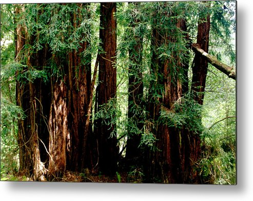 Botany Metal Print featuring the photograph California Redwoods by Sonja Anderson