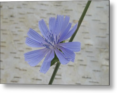 Backdrop Metal Print featuring the photograph Chicory by Michael Peychich