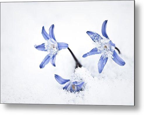 Chionodoxa Metal Print featuring the photograph Chionodoxa - Glory Of The Snow by Onyonet Photo Studios