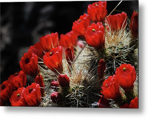 Metal Print featuring the photograph Claret Cups by Judy Pearson