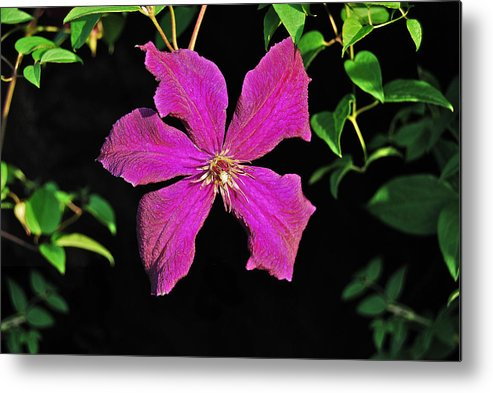 Clematis Metal Print featuring the photograph Clematis 2598 by Michael Peychich