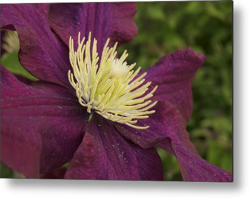 Flower Metal Print featuring the photograph Clematis 4000 by Michael Peychich