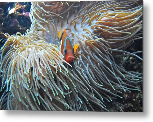 Fish Metal Print featuring the photograph Clown Fish by Michael Peychich