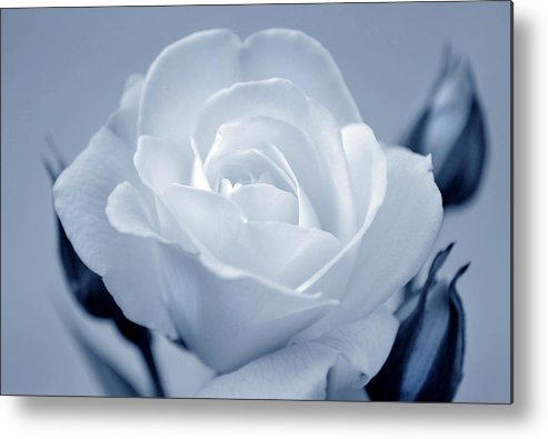 Rose Metal Print featuring the photograph Cool Beauty by Terence Davis