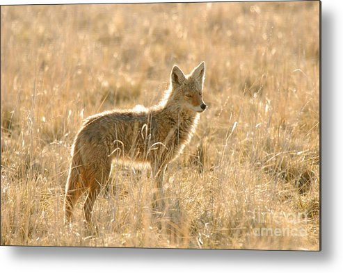Coyote Metal Print featuring the photograph Coyote At Dawn by Dennis Hammer