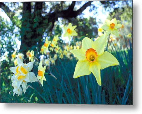 Daffodils Metal Print featuring the photograph Daffodils And The Oak 2 by Kathy Yates