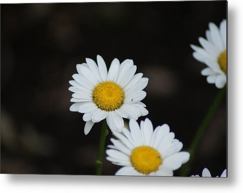 Flowers Metal Print featuring the photograph Daisies by Heather Green