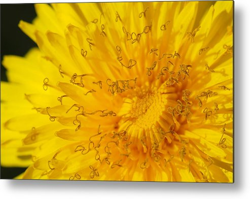 Photo Metal Print featuring the photograph Dandelion by Jaroslaw Grudzinski