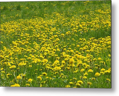 Dandelion Metal Print featuring the photograph Dandelion Wine by Peter Williams