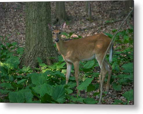 Animal Metal Print featuring the photograph Deer 7414 by Michael Peychich