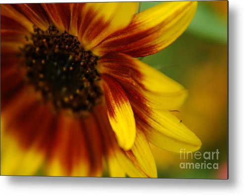 Sunflower Metal Print featuring the photograph Demure by Michelle Hastings
