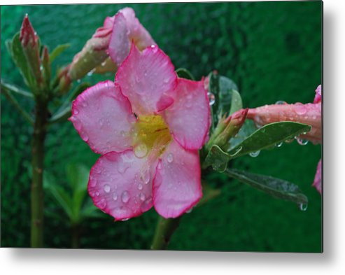 Rose Metal Print featuring the photograph Desert Rose On Green by John Roncinske