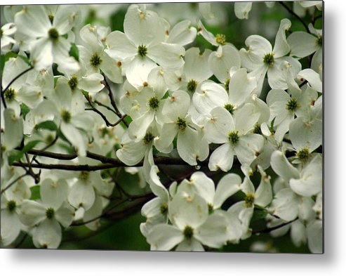 Dogwood Metal Print featuring the photograph Dogwoods by Marty Koch