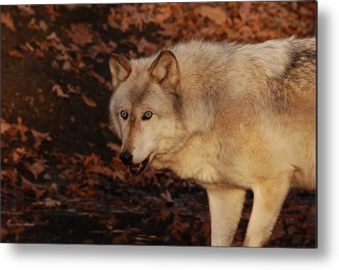 Wolf Metal Print featuring the photograph Drink Up by Lori Tambakis
