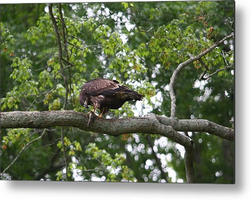 Eagle Metal Print featuring the photograph Eagle Eating A Fish by James Jones