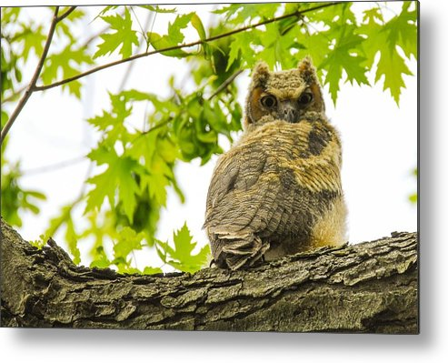 Owl Metal Print featuring the photograph Fledgling Great Horned Owl by Robert Smice
