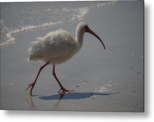 Ibis Metal Print featuring the photograph Florida Ibis 3 by Lisa Gabrius