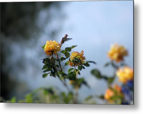 Hummingbird Metal Print featuring the photograph Focus On Beauty by Ellen Lerner ODonnell