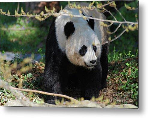 Panda Metal Print featuring the photograph Giant Panda Bear Creeping Under A Tree Branch by DejaVu Designs