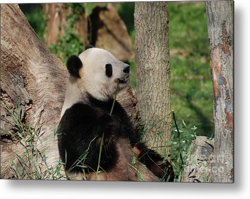 Panda Metal Print featuring the photograph Giant Panda Bear Sitting Up Leaning Against A Tree by DejaVu Designs