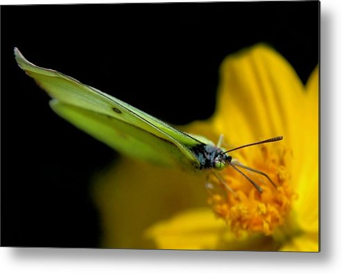 Butterfly Metal Print featuring the photograph Golden Greeting by Dan Holm