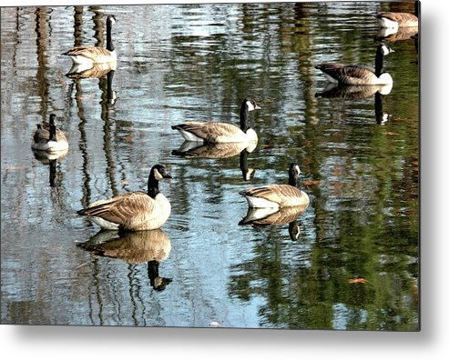 Pond Metal Print featuring the photograph Goosed by Vm Vassolo