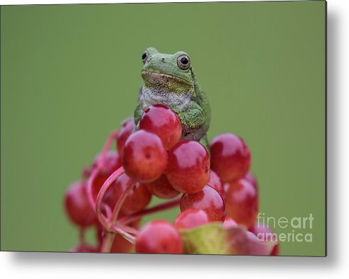 Frog Metal Print featuring the photograph Gray Tree Frog by Russell Myrman