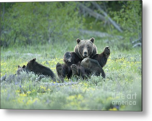 Bears Metal Print featuring the photograph Grizzly Romp - Grand Teton by Sandra Bronstein
