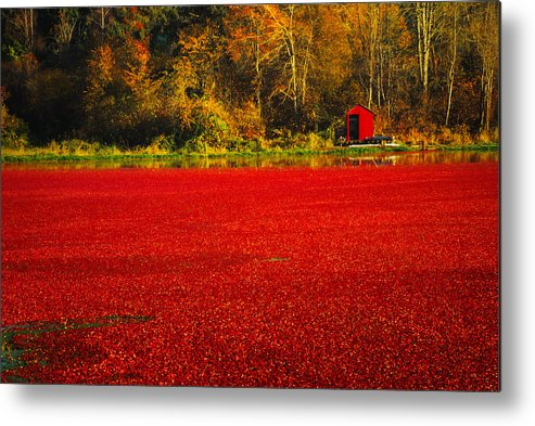 Cranberries Metal Print featuring the photograph Harvest Time by Diane Smith