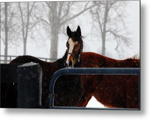 Snow Metal Print featuring the photograph Horse In A Snowstorm by Steven Crown