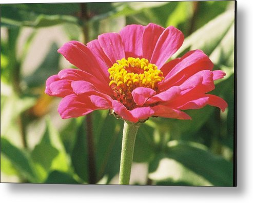Landscape Metal Print featuring the photograph Hot Pink Flower In Frankemuth Michigan by Cheryl Martin