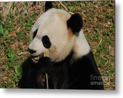 Panda Metal Print featuring the photograph Hungry Chinese Giant Panda Bear Eating Bamboo by DejaVu Designs