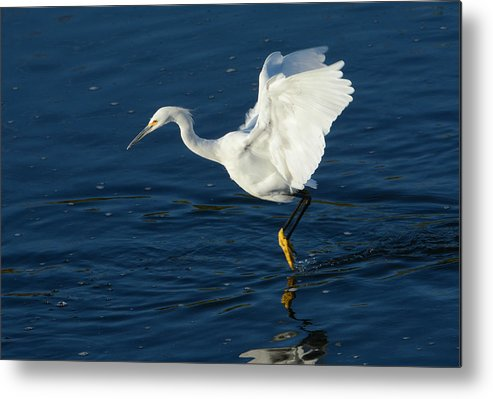 Snowy Egret Metal Print featuring the photograph Hunting Techniques 2 by Fraida Gutovich