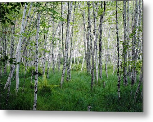 Jesup Path Metal Print featuring the photograph Jesup Path Birches by Steven Scott