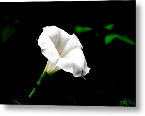 Floral Metal Print featuring the photograph Judy's White Knight by M Ryan