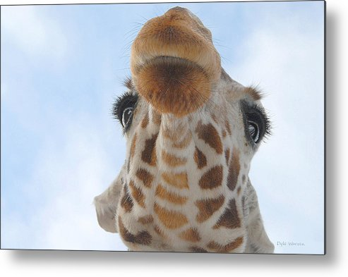 Giraffe Metal Print featuring the photograph Keep Your Chin Up by Dyle  Warren