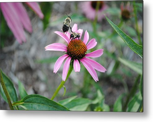 Bee Metal Print featuring the photograph Kung Fu Fighting Bees by Jenniferlyn Barbare