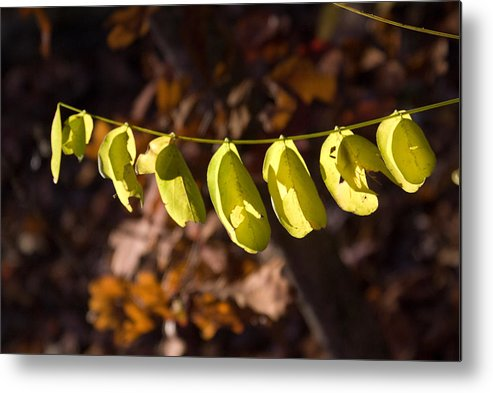 Leaves Metal Print featuring the photograph Leaves All In A Row by Douglas Barnett