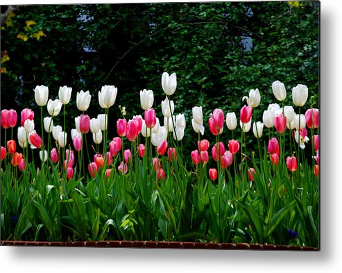 Tulips Metal Print featuring the photograph Long Stem Tulips by Nancy Bradley