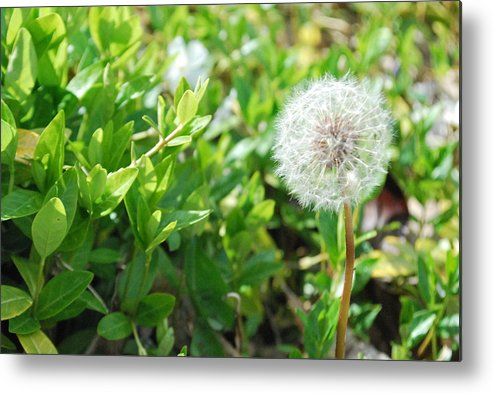 Flower Metal Print featuring the photograph Make A Wish by Jessica Jablonski