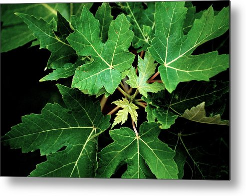 Maple Leaves Metal Print featuring the photograph Maple Burst by Trudi Southerland
