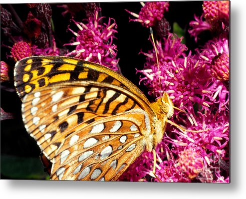 Meadow Fritillary Metal Print featuring the photograph Meadow Fritillary by Thomas R Fletcher