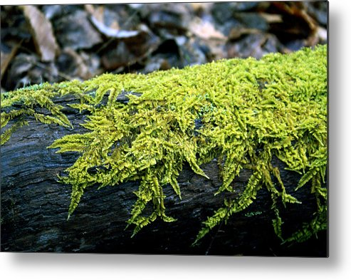 Moss Metal Print featuring the photograph Mosss On Blackened Log by Douglas Barnett