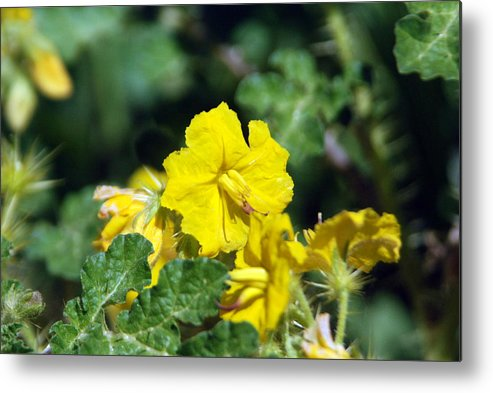 Flower Metal Print featuring the photograph Nasty Weed by Margaret Fortunato