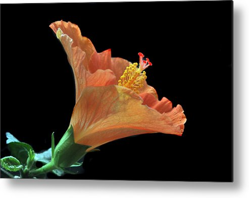 Hibiscus Metal Print featuring the photograph Nature's Detail. by Terence Davis