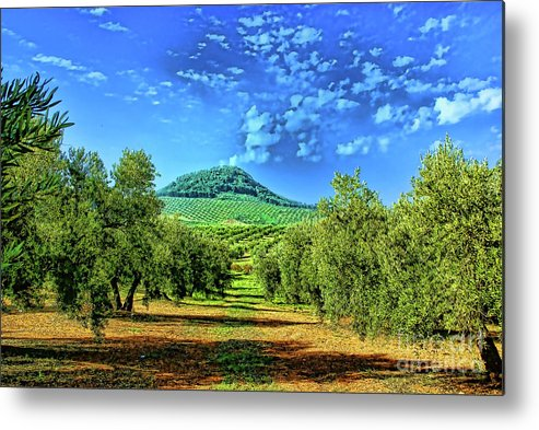 Olive Groves Spain Landscapes Metal Print featuring the photograph Olive Grove Spain by Rick Bragan