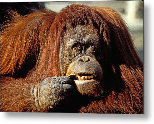 Animal Metal Print featuring the photograph Orangutan by Garry Gay